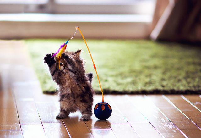 Bipod Daisy by torode, via FlickrAnimal Pics, Animal Pictures, Animal Baby, Tribal Dance, Baby Animal, Plays, Kittens, Kitty, Cat Toys