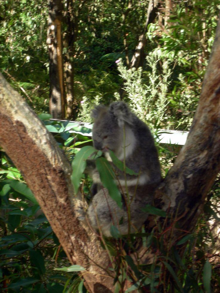 Koala at Healesville Sanctuary