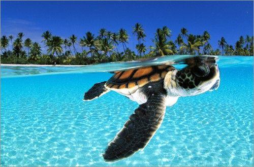 junge Meereschildkröte in tropischem Paradies Poster von David Doubilet günstig bestellen