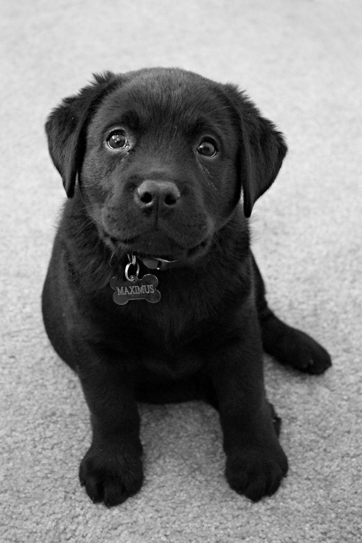Black English Lab Puppy - My puppy Max