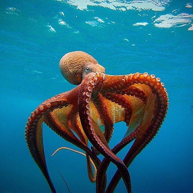 The day octopus. Photo by @edahlmeier Octopus cyanea also known as the big blue octopus day octopus and Cyane's octopus is an octopus in the family Octopodidae. It occurs in both the Pacific and Indian Oceans from Hawaii to the eastern coast of Africa. O. cyanea grows to 16 cm in mantle length with arms to at least 80 cm. #DiscoverOcean by discoverocean