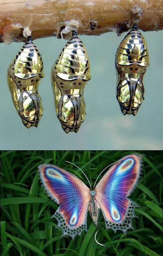 Amazing Golden Cocoon Butterfly (this is real, at least the cocoon part is real. http://www.dailysciencefix.com/metallic-mechanitis-butterfly-chrysalis/ )