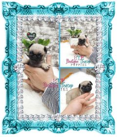 Adorable Mr. Bogie ~ Precious Male Pug Available! Estimating 5 to 6 pounds full grown!