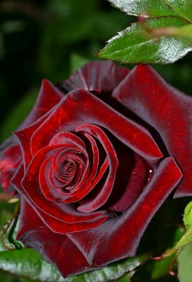 Самые красивые розы в мире в картинках