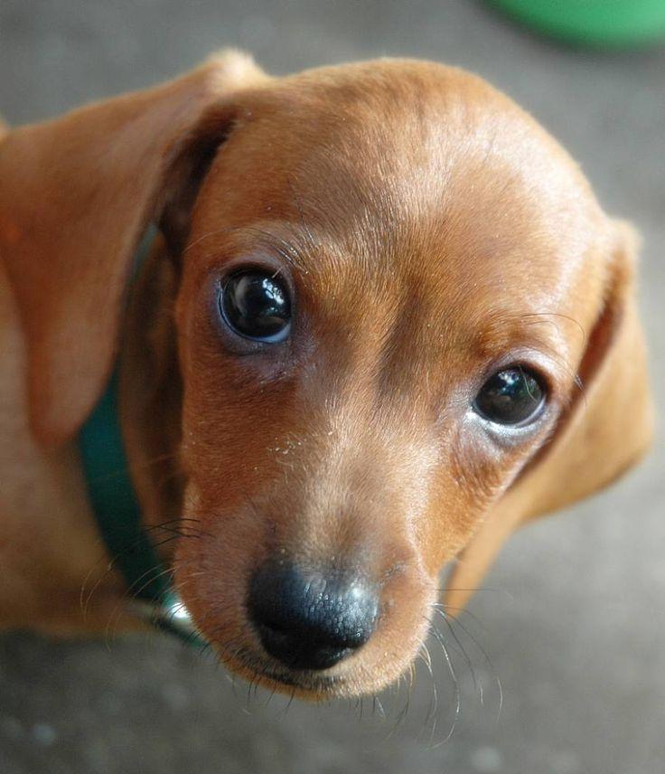 mini+dachshunds | Gus the Mini Dachshund Puppy