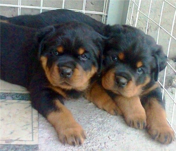 Satılık Rottweiler Yavruları İlanları  http://rottweiler.yavruilani.com/satilik-rottweiler-yavru-ilani/