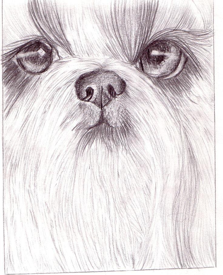 Pencil drawimg of a Shih Tzu