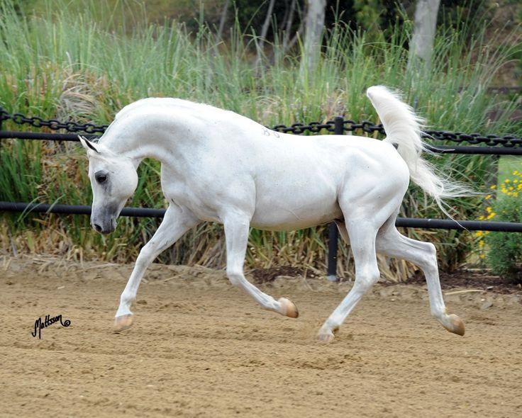 Arabian horse El Nabila