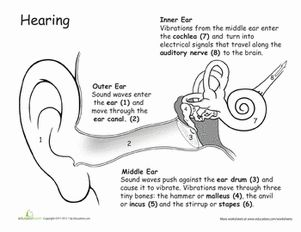 "BFSU (Volume I) C-2; ""How the Ears Work"" Worksheet"
