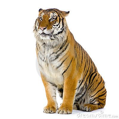 walking tiger white background - Google Search