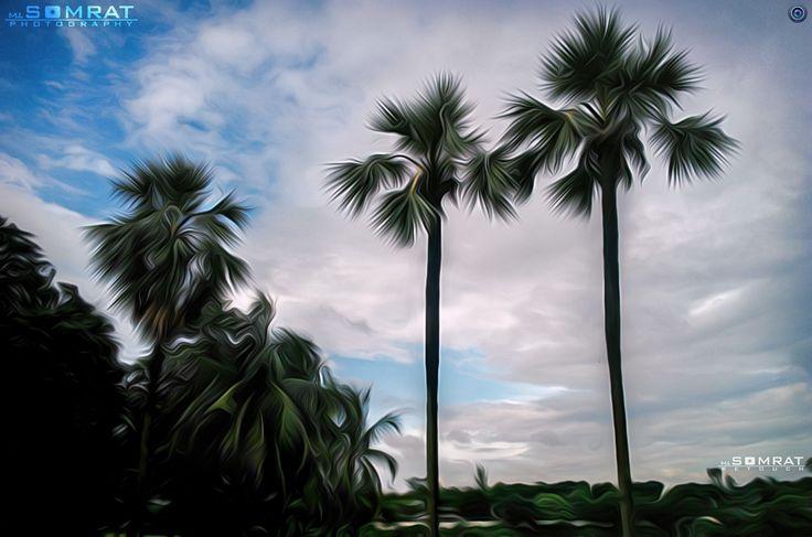 Beautiful Bangladesh [তালগাছ][Plum Tree][Borassus flabellifer]