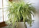 "#6.  Air Purifier Spider Plant     Spider plants are wonderful house plants for beginners, caring for ""spiders"" is easy and most of the time only downright neglect will kill the ""airplane plant""."