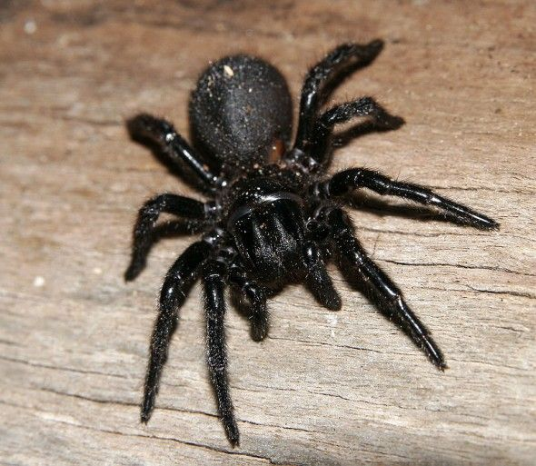 TheSydney funnel-web spider(Atrax robustus) is a species ofAustralian funnel-web spiderusually found within a 100km (62mi) radius ofSydney,New South Wales,Australia. It is a venomous spider with a bite capable of causing serious injury or death in humans if left untreated. - http://myscienceacademy.org/2013/02/15/5-most-dangerous-spiders/