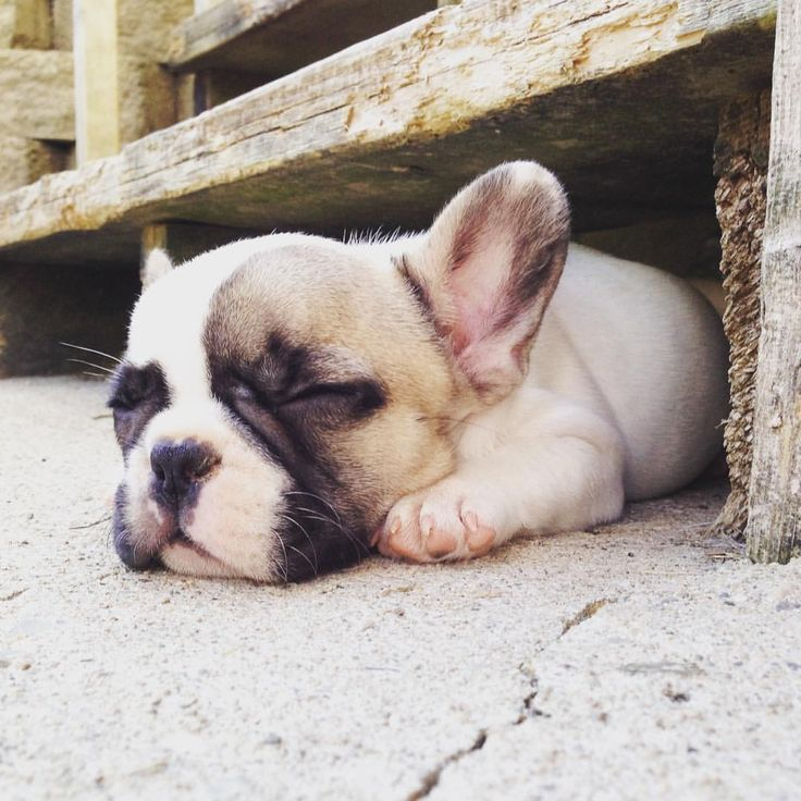 17  best ideas about french bulldog puppies on pinterest