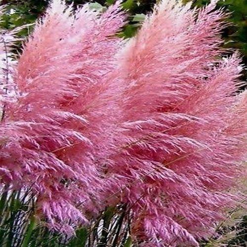 Pink Pampas Grass - Cortaderia selloana Rosea - A Live Evergreen Perennial plant - Ornamental Grasses