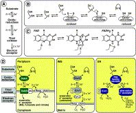 Balancing oxidative protein folding: The influences of reducing pathways on disulfide bond formation