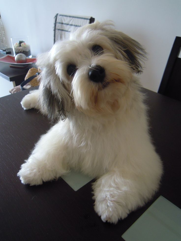 25 Best Images About Havanese Angels On Pinterest