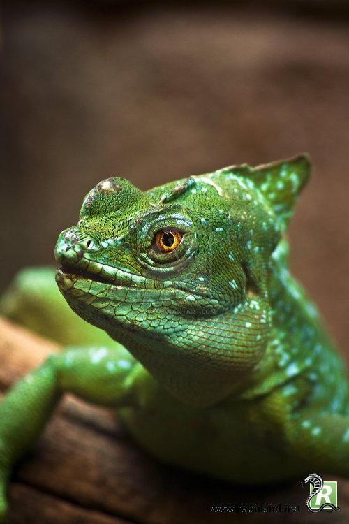 Sur la photo, un Basiliscus plumifrons, dun vert brillant émeraude. Le mâle possède une double crête sur la tête et une haute crête sur le dos. En français, il est plus souvent appelé : Basilic à plumes, Basilic vert, Basilic Jésus ou Lézard Jésus-Christ.