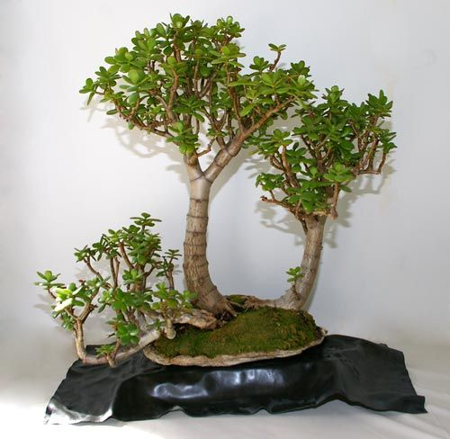 54 best desert rose plants images on pinterest bonsai - Bonsai zimmerpflanze ...