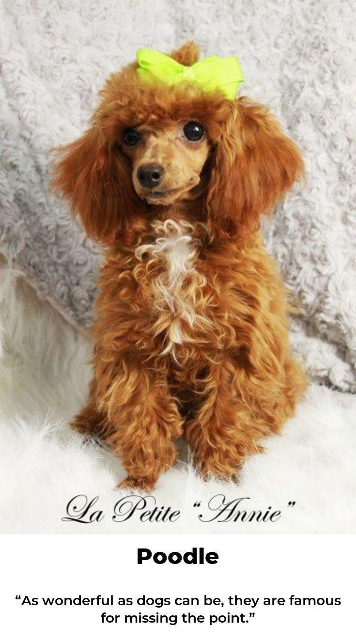 Poodle Love Poodlecross Poodlehundlove Dog Breeds Poodle Dog