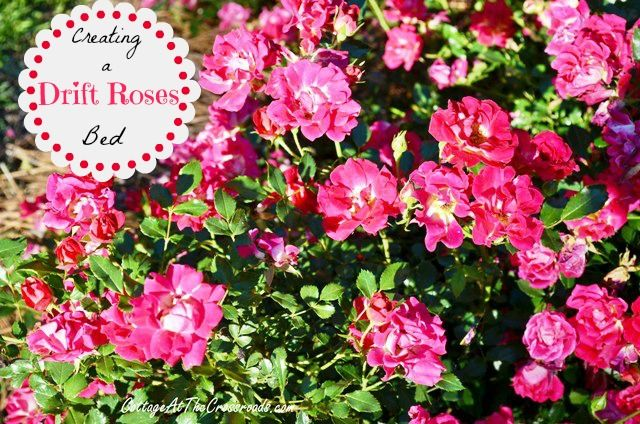 Roses In Garden: 186 Best Images About Drift® Groundcover Roses On