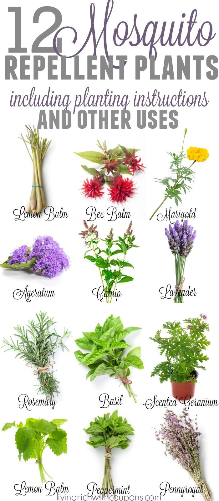 Best natural mosquito repellant ideas on pinterest - Mosquito repellent plants ...