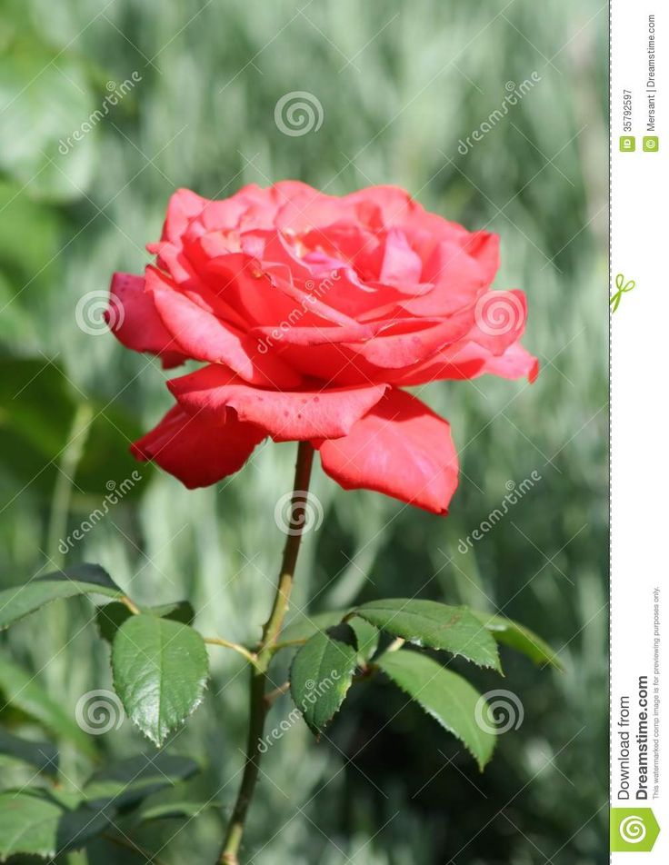 Beautiful rose with green background