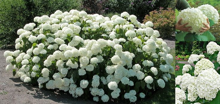 "Smooth Hydrangea 'Incrediball' (Hydrangea Arborescens) - Zone 3-9 Part Sun (south) to Full Sun (north) Heat tolerant. 4'-5' tall/wide. Prefers moist, well-drained soil-mulch well and don't let them dry out. Deciduous, cold-hardy bush blooms from summer to fall on new growth. Large, over 12"" across, flowers open green, then mature to white before fading to green again. Very sturdy stems hold the blooms upright even if soaked with rain. Propagate by cuttings."