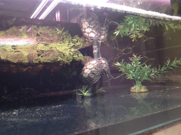 Ecco i piccoli di #tartaruga nati all'acquario, ricordate che per ogni DVD di Sammy&Co. acquistato, verranno devoluti 10 centesimi alla  Fondazione Acquario di Genova #opendaysammy #sammyacquario @Eagle_Pictures