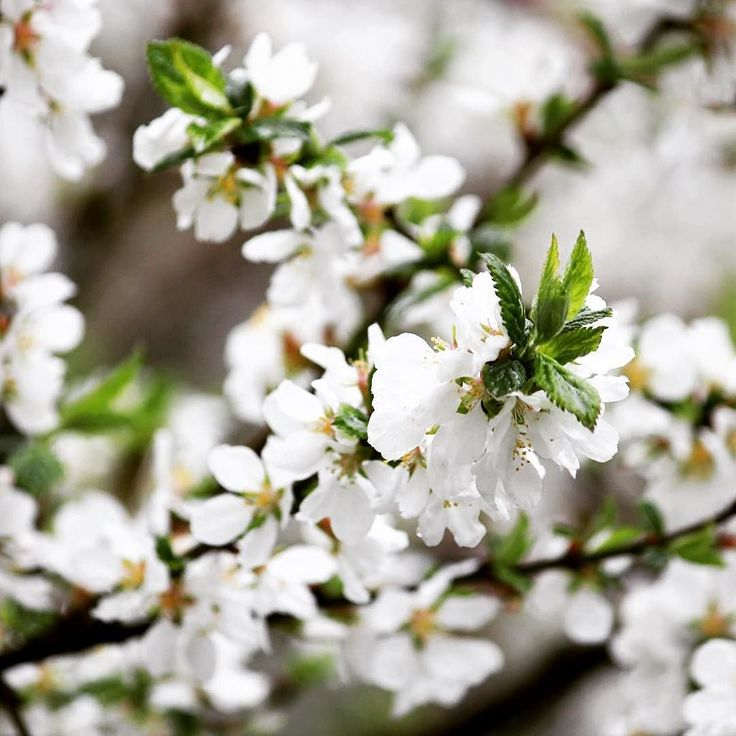 В @red_presnya зацвела вишня #всевпарк #парк #цветы #вишня #park #flowers by mosgorpark