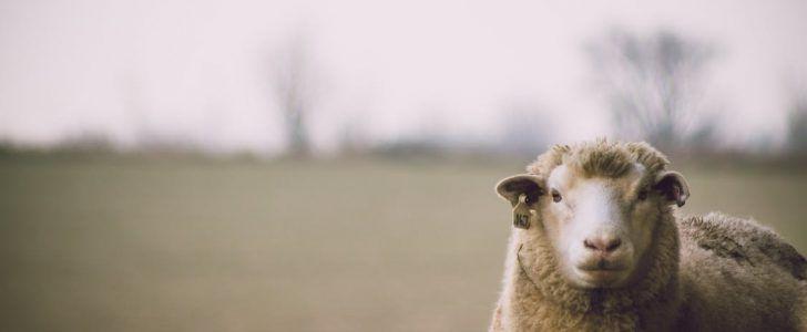 تفسير حلم رؤية الخروف في المنام موقع فكرة Animals Lamb
