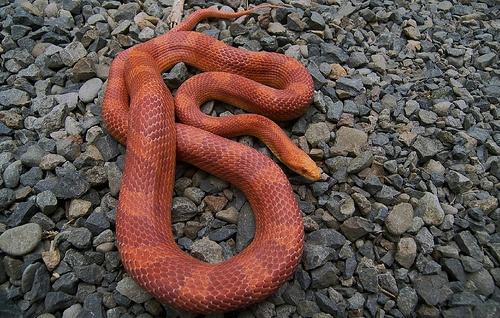 adult sunglow corn snake