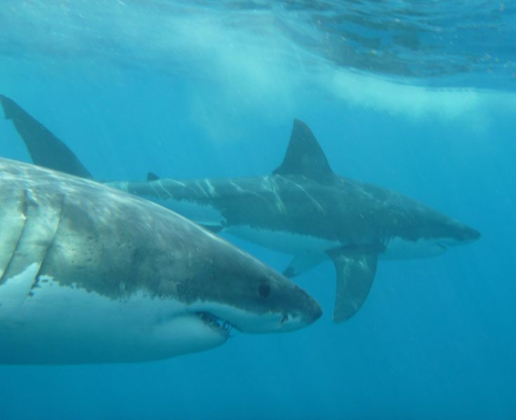 1676 best Tiburones y rayas images on Pinterest | Shark week, Sharks and Animals