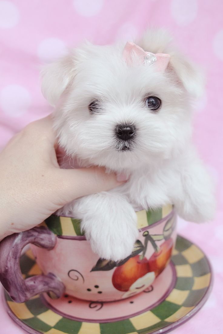 30 best Teacup Maltese & Maltese Puppies images on Pinterest