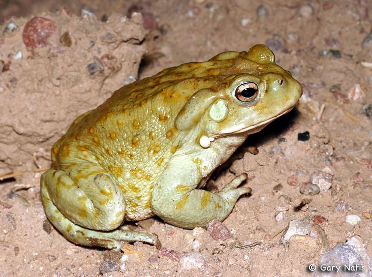 How Long Can A Small Frog Go Without Food