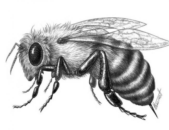 Big Bee Bee Drawing Pencil Drawings Of Animals Animal Drawings