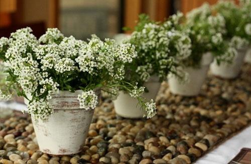 Sweet alyssum in white washed flower pots garden