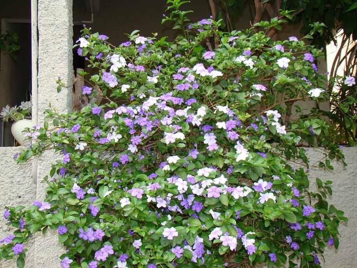 pé de Manacá para deixar qualquer jardim perfeito!