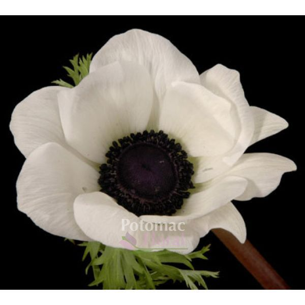 Anemone White Black Center 40 Cm Potomac Floral Wholesale Signs Youre In Love White Anemone Real Touch Flowers