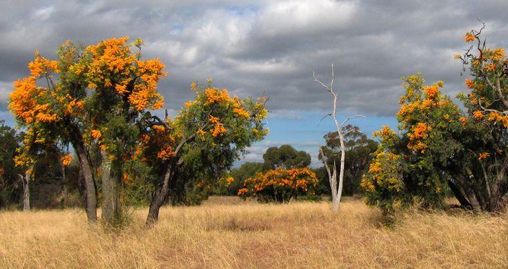 Wildblumen im Südwesten Australiens Westaustralischer Weihnachtsbaum (Nuytsia floribunda) /Munji