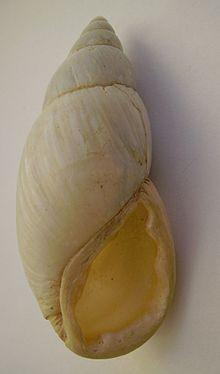 Placostylus ambagiosus priscus.JPG