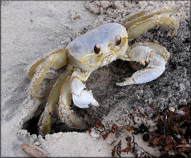 Ghost Crabs Myrtle Beach