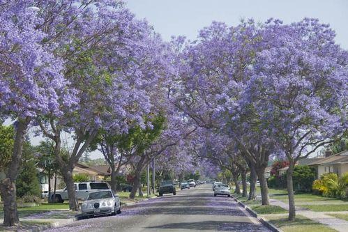 Someday my property will be lined with 20 Jackaranda Trees & I will be happy.