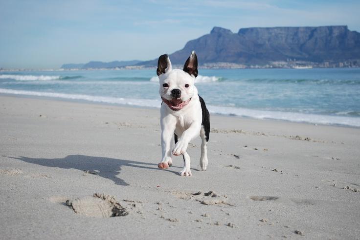 Boston terrier , Cape Town SA