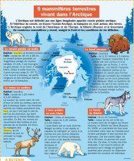 5 mammifères terrestres vivant dans l'Arctique - Mon Quotidien, le seul site d'information quotidienne pour les 10 - 14 ans !