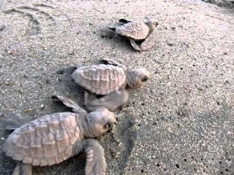 watch sea turtles hatch and run for the ocean