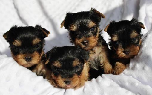 Yorkshire Terrier dog for Adoption in WINDER, GA, USA. ADN-36977 on PuppyFinder.com Gender: Female. Age: Baby. Nickname: Cute pups