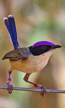 Purple Crowned Fairy Wren ~ Northern Australia
