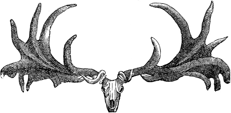 "Description  ""Skull and antlers of the Irish elk."" -Taylor, 1904"