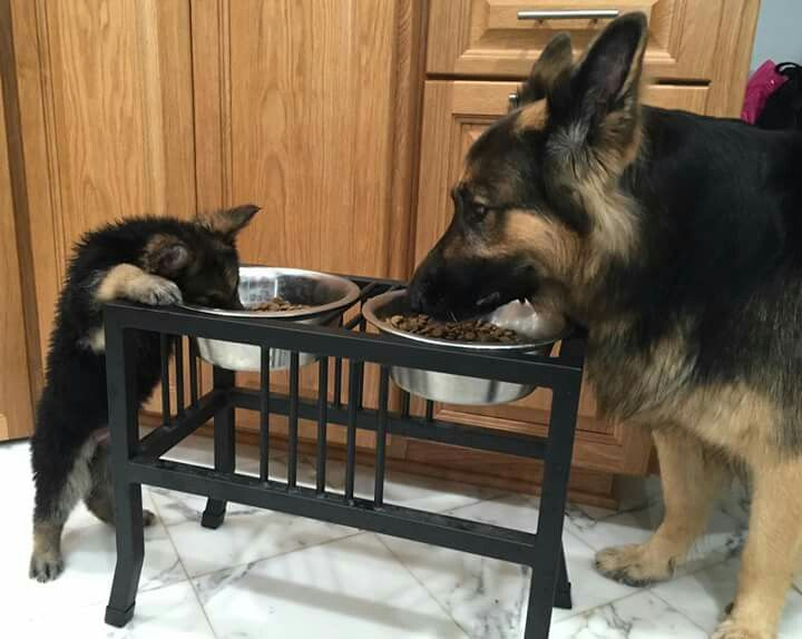 Momma German shepherd and her pup--- Yes now that's the way all dogs need to eat and drink!! From a raised stand I mean would you like trying to eat with your head hanging down at floor??!!